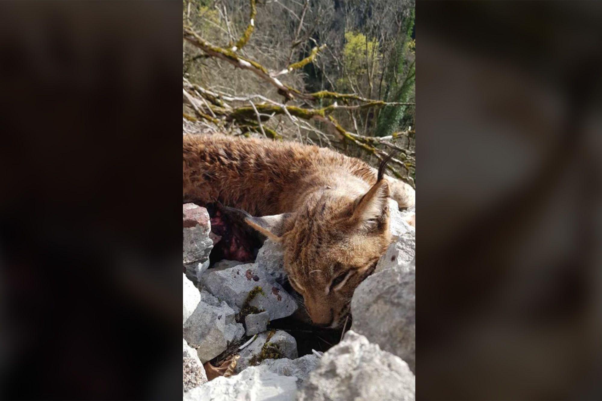 5000 Euros De Recompense Pour Celui Qui Retrouvera Un Tueur De Lynx Dans Le Jura