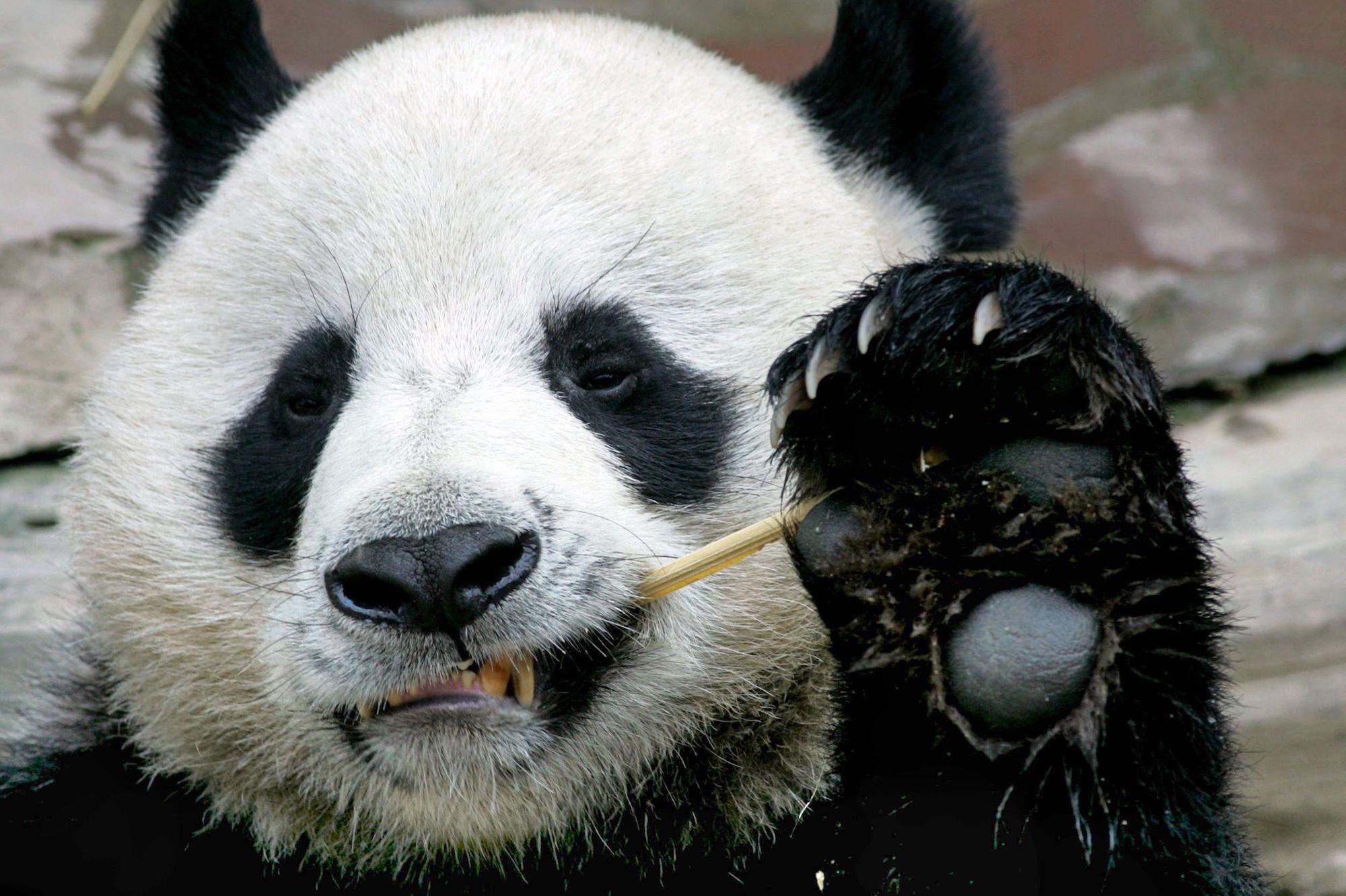 Панда картинки видео
