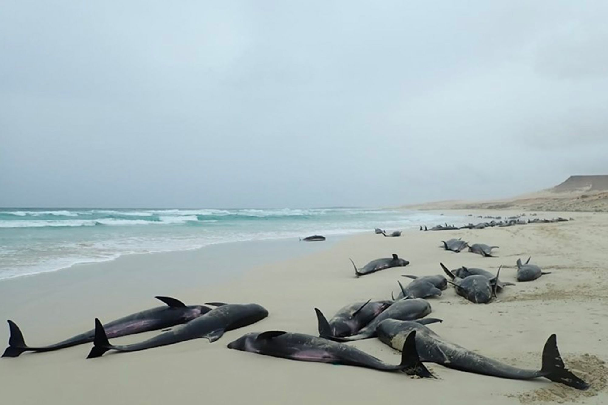 Les Images Atroces De L Hécatombe De Dauphins Au Cap Vert