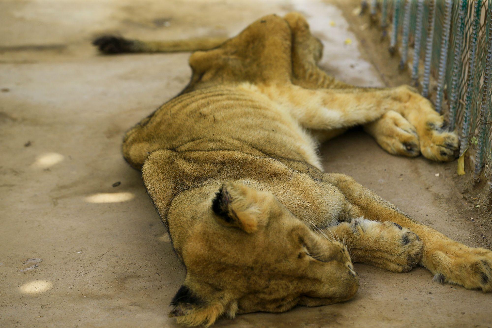 Une lionne mal-nourrie meurt dans le zoo de Khartoum