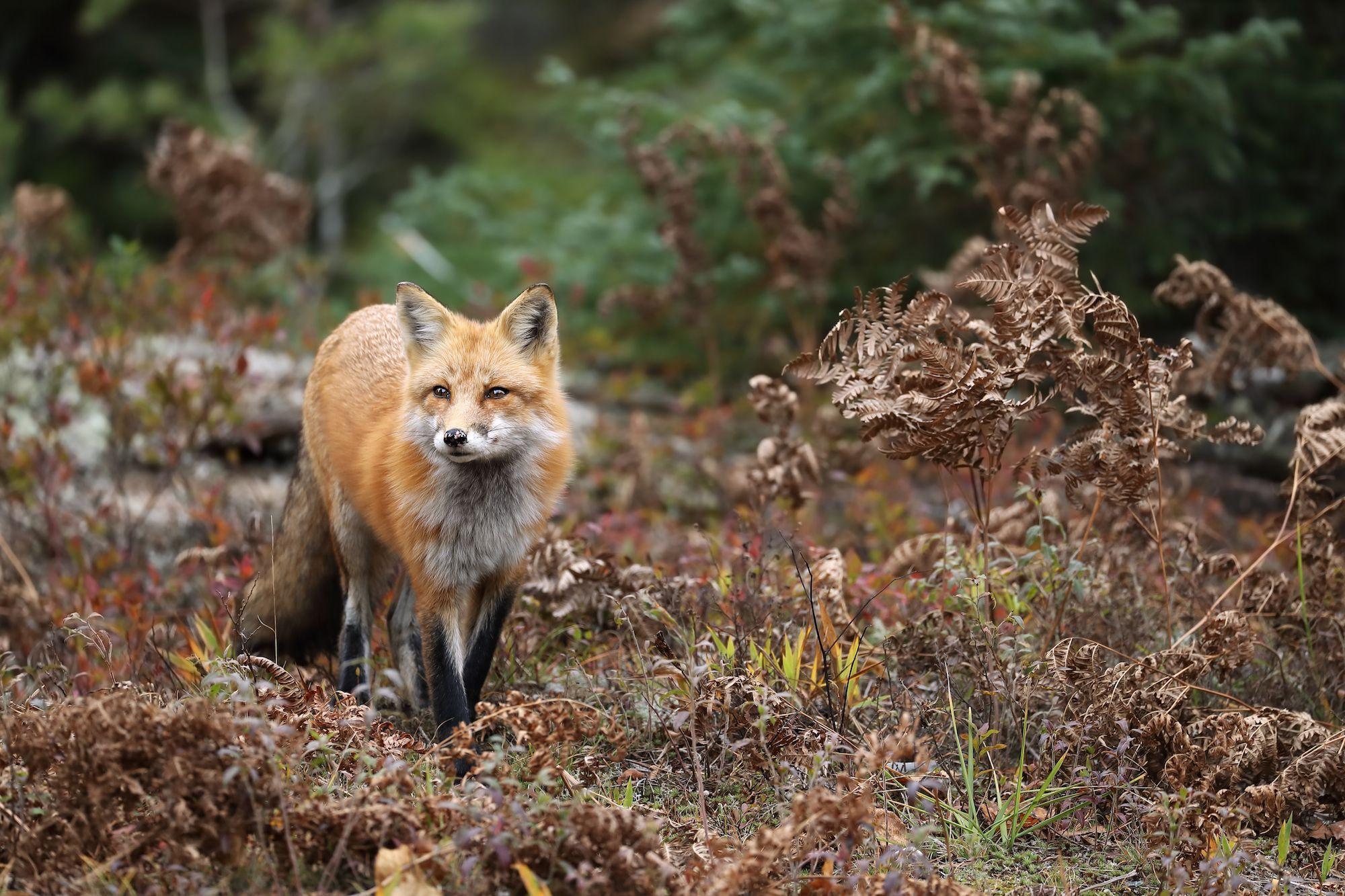 À Berlin, un renard vole cent paires de chaussures à des habitants
