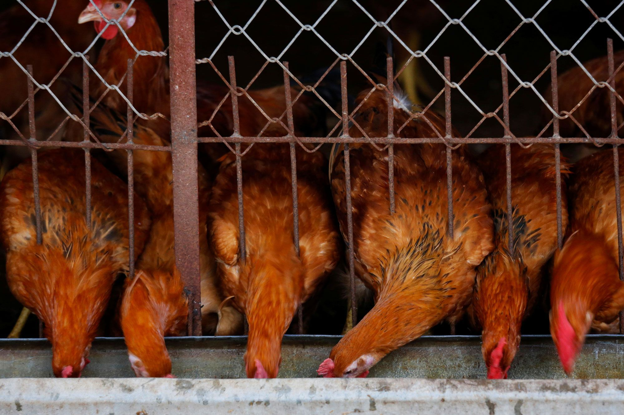 Bretagne: un renard tué par des poules dans un poulailler
