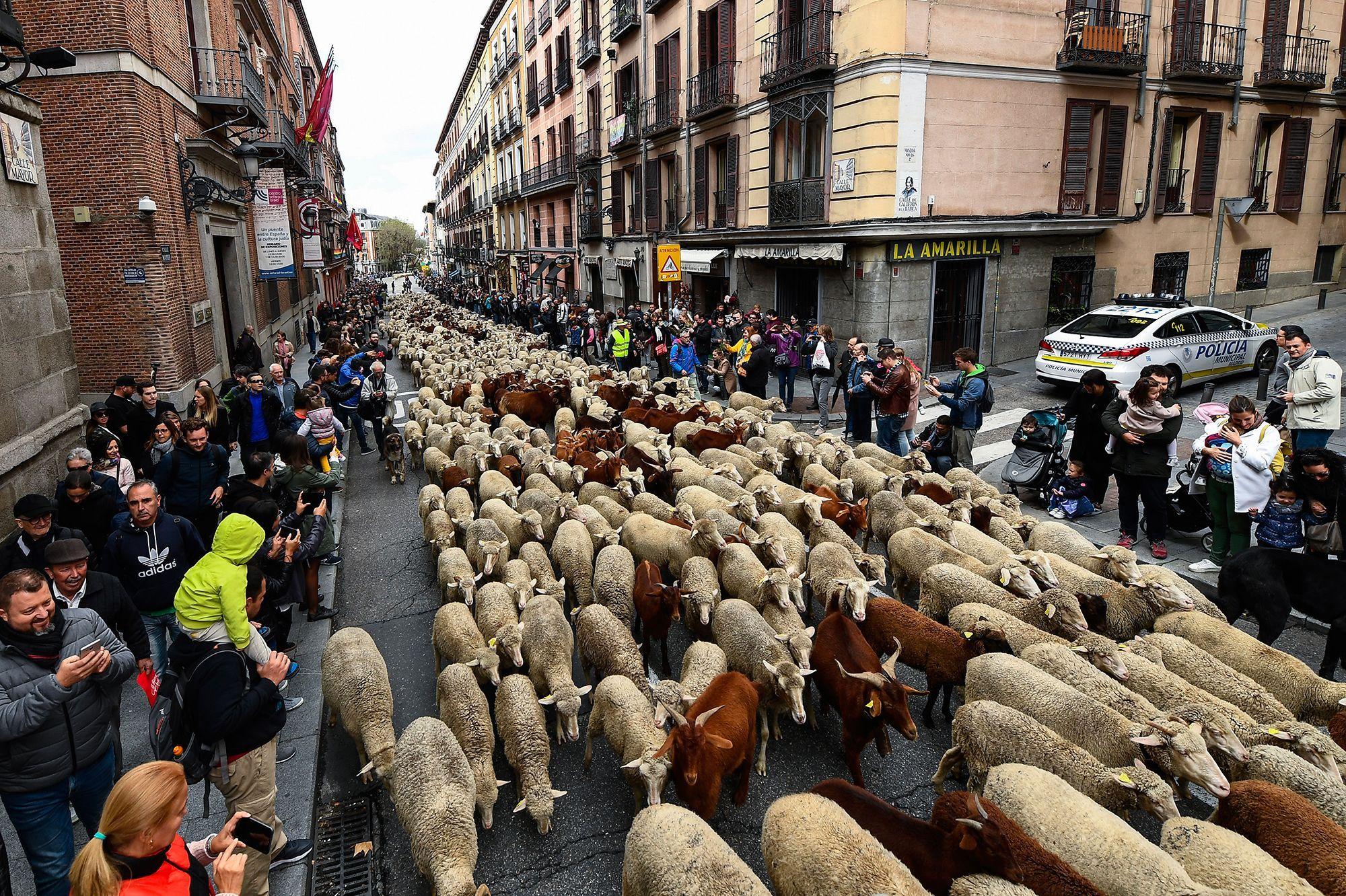 Dimanche, des milliers de brebis ont traversé Madrid