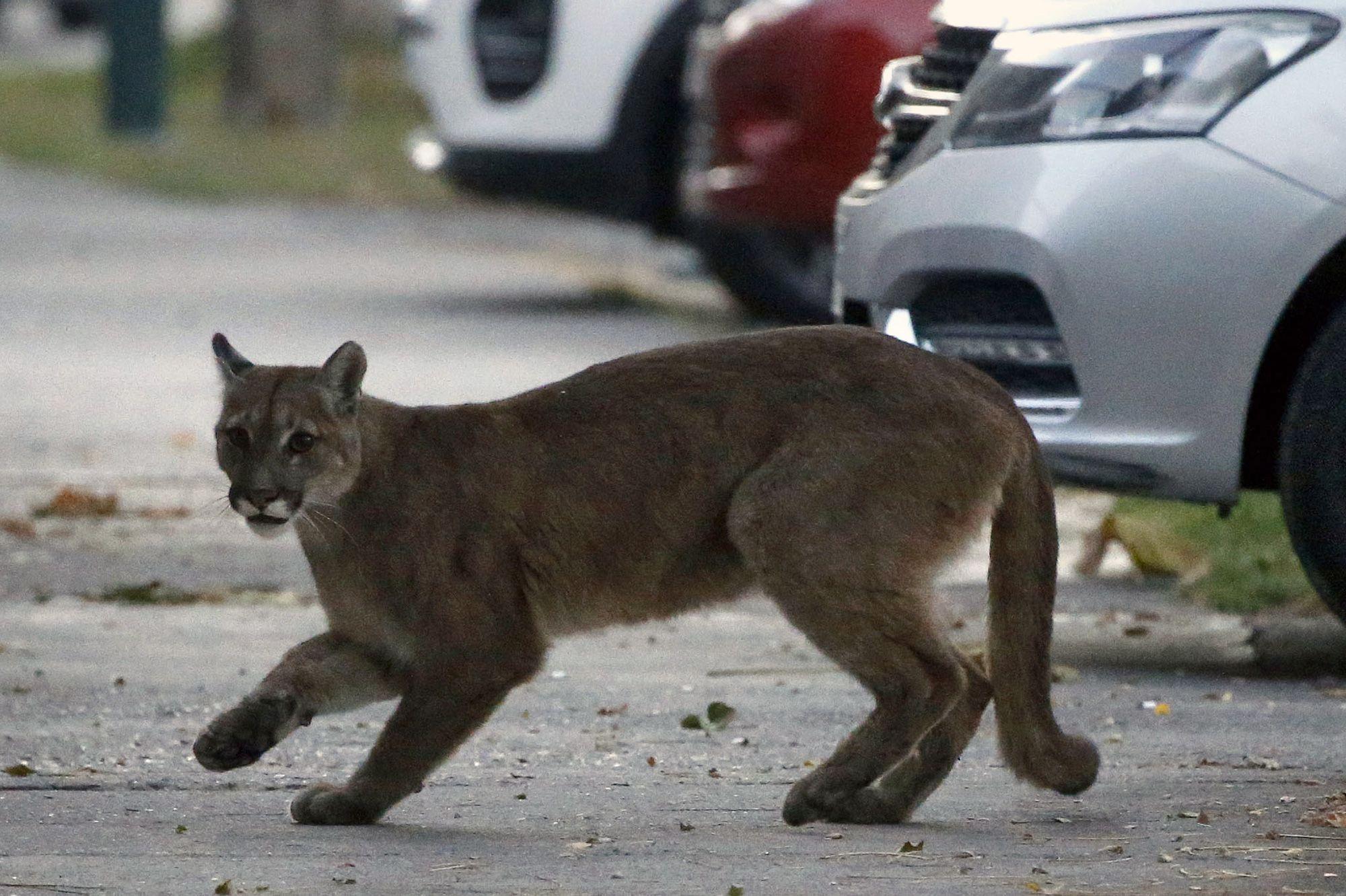 Un Puma Capture Dans Les Rues Desertes De Santiago Sous Couvre Feu