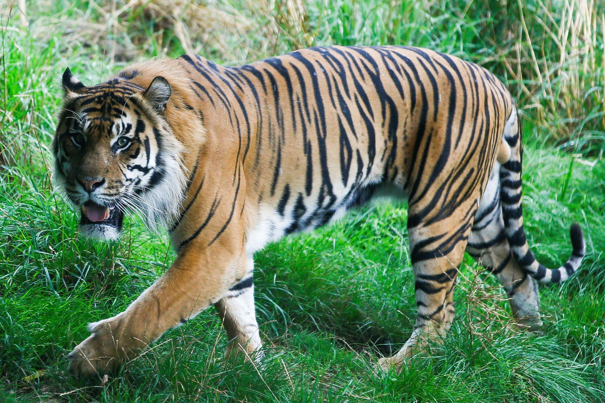 Indonesie Un Tigre De Sumatra Tue Un Agriculteur
