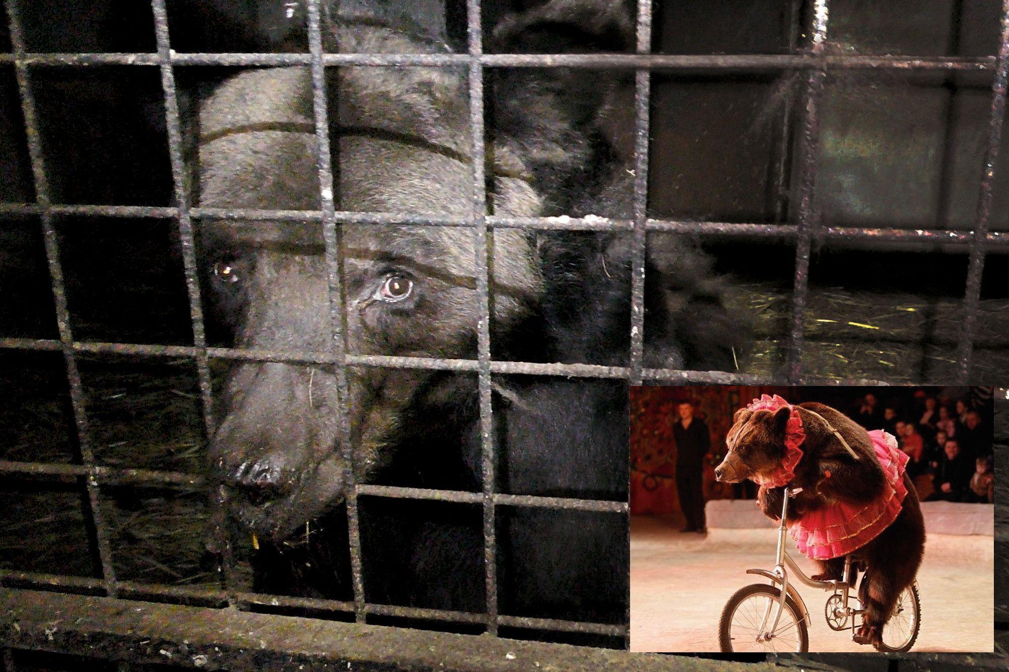 Cirque : les animaux malades de la piste