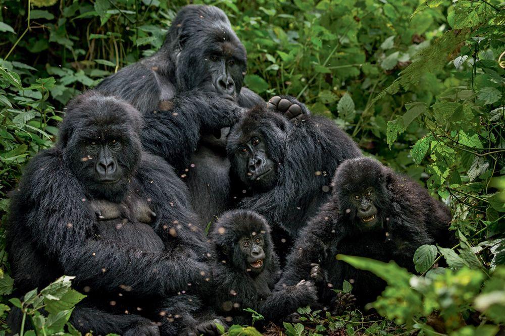 Gorilles en danger