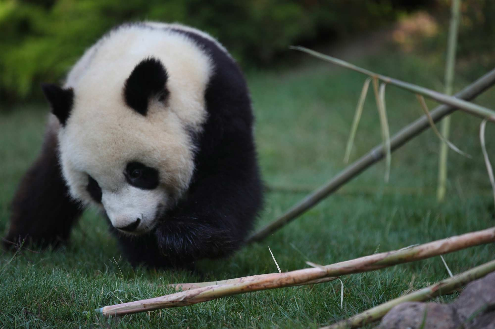 Gâteau Et Bambou Pour Les 2 Ans De Yuan Meng Le Bébé Panda De Beauval