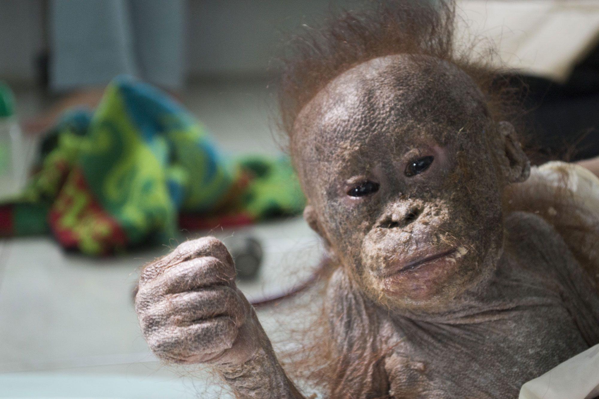 <p>Orang-outan sauvé à Bornéo</p>Laissé pour mort dans un carton, Gito s'accroche à la vie