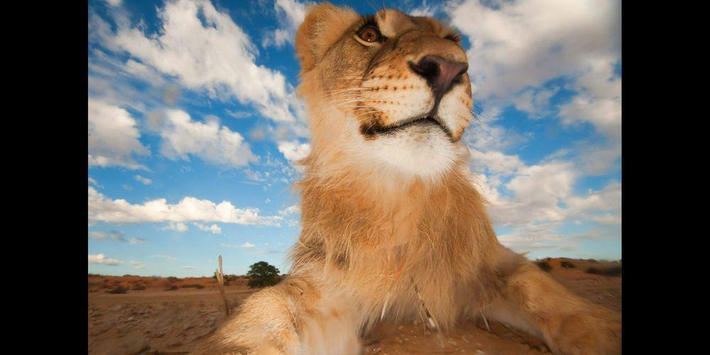 Le roi des animaux en gros plan - Animaux du roi lion ...