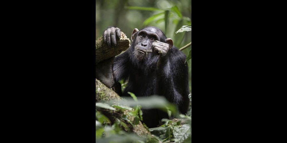 Chimpanzé utilisant une baguette pour récupérer du miel