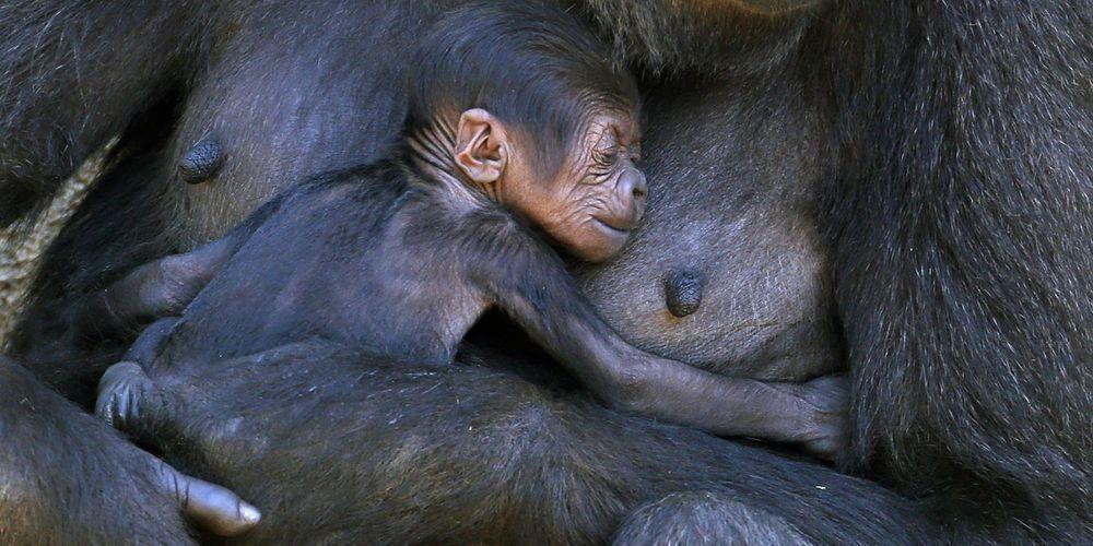 http://resize-parismatch.ladmedia.fr/r/1000,500,center-middle/img/var/news/storage/images/paris-match/animal-story/photos/votez-pour-la-photo-d-animaux-de-l-annee-678882/mbeli-le-gorille-tient-contre-elle-son-petit-au-sein-du-zoo-de-taronga-en-australie/6815278-1-fre-FR/Mbeli-le-gorille-tient-contre-elle-son-petit-au-sein-du-zoo-de-Taronga-en-Australie.jpg