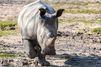 Après la mort de Vince, un parc animalier réfléchit à couper les cornes de ses rhinocéros