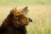 Allemagne : Un lion s'échappe de sa cage, et est abattu