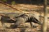 Quatre suspects écroués après le vol d'un dragon de Komodo