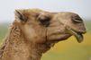 Un ado mordu et piétiné par un chameau sur le chemin de l'école