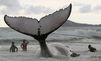 Seize baleines échouées sur les côtes écossaises