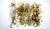 La bactérie tueuse aurait épargné le soja allemand