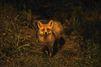 Le renard, tendre voyou