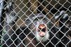 Non, les chimpanzés ne sont pas des personnes