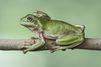 Une grenouille accouche de ses têtards
