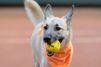 Au tennis, les ramasseurs de balles sont des chiens