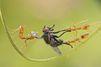 Bataille chez les fourmis tisserandes