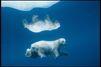 Découvrez les ours de Paul Nicklen