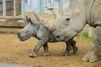Ian le petit rhinocéros blanc timide