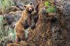 L'ourson apprend à grimper à une falaise