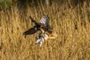 La crécerelle et l'effraie se volent dans les plumes