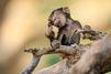Les contorsions du bébé babouin