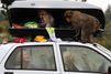 Les macaques voleurs vident le coffre de toit