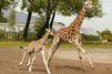 Première course pour Sanyu le girafon