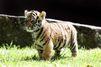 Première sortie pour Kai le petit tigre