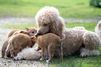Samson le caniche et ses petits dingos