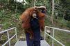 Sauvés, les orangs-outans retrouvent la liberté