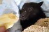 La chauve-souris qui aimait les bananes