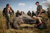 Eléphants, la course contre la mort