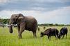 L'éléphant qui vivait avec les buffles