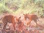 Tigre de Sumatra : une preuve de vie