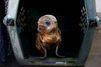 El Niño décime les lions de mer