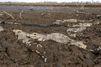 L'extrême détresse des caïmans de Pilcomayo