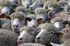 Un nonagénaire décède après une attaque de mouton