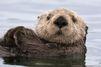 Etats-Unis: Mais qui est le tueur des loutres de mer?