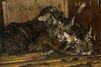 Trois bébés tigres en route vers un zoo syrien ont été sauvés