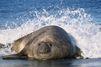 Les éléphants de mer sensibles au rythme et au ton des cris de leurs congénères