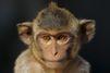 Euthanasies dans les Landes: la SPA appelle à sauver deux macaques égarés