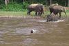 Il dresse un éléphant pour qu'il le sauve de la noyade