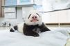 Avec les bébés pandas du Sichuan